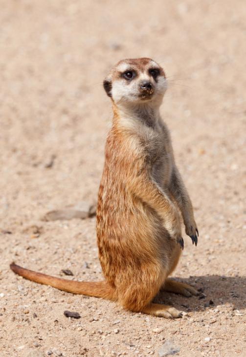 meerkat_729