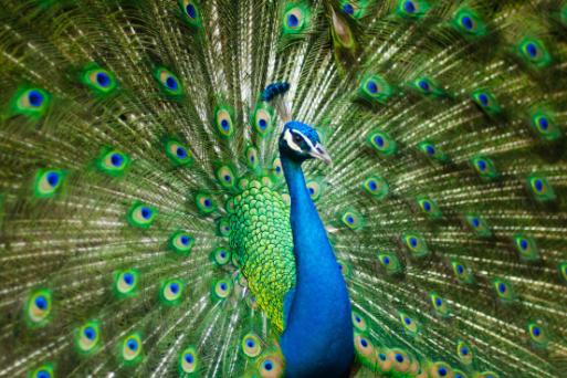peacock_513